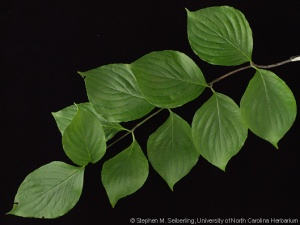 cornus_florida_leaves03