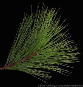 pinus_taeda_leaves01